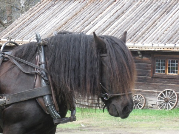 North Swedish Draft Horse