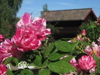 Roses in Dalecarlia, Sweden